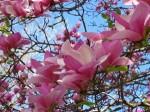 pink_tulip_tree